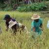 Podría mejorar la producción de arroz este año en México