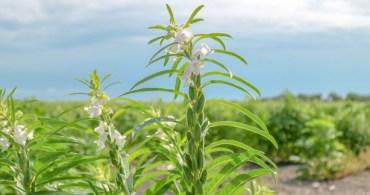 Siembra de ajonjolí, alternativa para productores altamirenses ante sequía