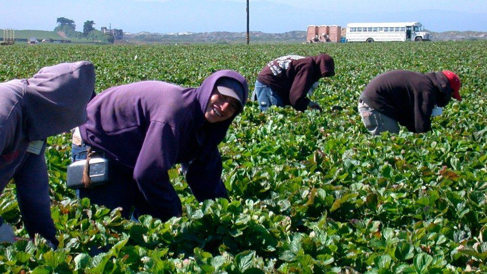 """El sabor amargo de las """"berries"""" en los campos agrícolas"""