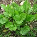 Trate sinusite, asma, hemorroidas, rins e qualquer tipo de inflamação com essa poderosa planta