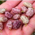Esta fruta é cada vez mais procurada porque freia o diabetes, normaliza a pressão e ajuda a perder peso