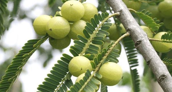 O fruto mais poderoso, cheio de antioxidantes, que tem 20 vezes mais vitamina C do que a laranja
