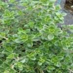 Trate Lúpus, artrite, acne, dor de garganta e problemas respiratórios com essa poderosa planta