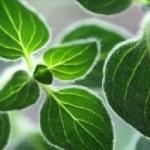 Esta planta incrível não deve faltar na sua dieta! Previne a osteoporose, desintoxica o organismo e combate inflamações.