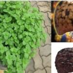 Esta planta poderosa elimina toda a gordura do seu fígado em menos de 3 semanas!