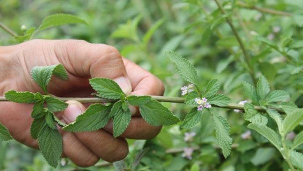 Esta planta tem folhas como um enfeite, mas pode salvar sua vida milhares de vezes