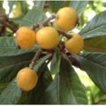 Esta folha e fruto estimulam a produção de insulina, limpam os rins, eliminam o ácido úrico, protegem contra o câncer e melhora a visão.