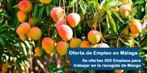Oferta de empleo para la recogida de Mango en Málaga