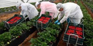 oferta de empleo sevilla recogida de fresa