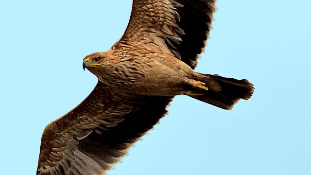 Animales en peligro de extinción: Águila Imperial Ibérica