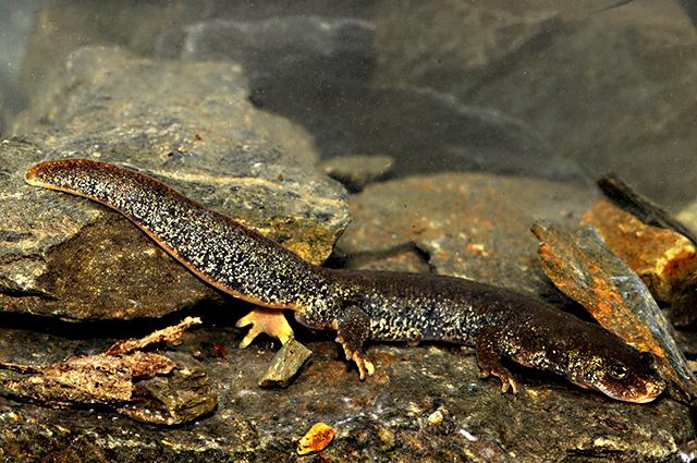 Animales en peligro de extinción: Tritón de Montseny