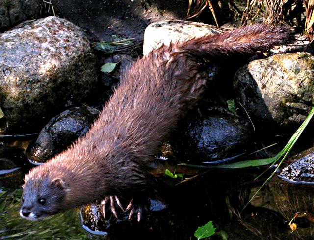 Animales en peligro de extinción: Visón Europeo