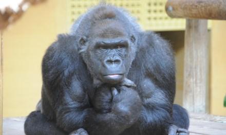 Cabárceno da la bienvenida a un nuevo gorila