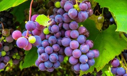 La Denominación de Origen Méntrida presenta las nuevas variedades de vinos