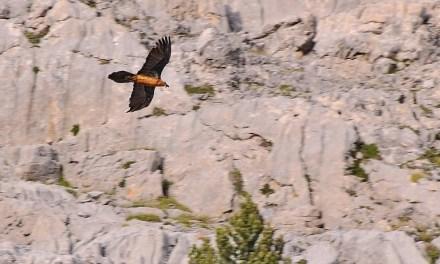 Tres nuevos quebrantahuesos en los Picos de Europa