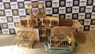 Photo of Polícia resgata pássaros silvestres na BR-116 em Conquista