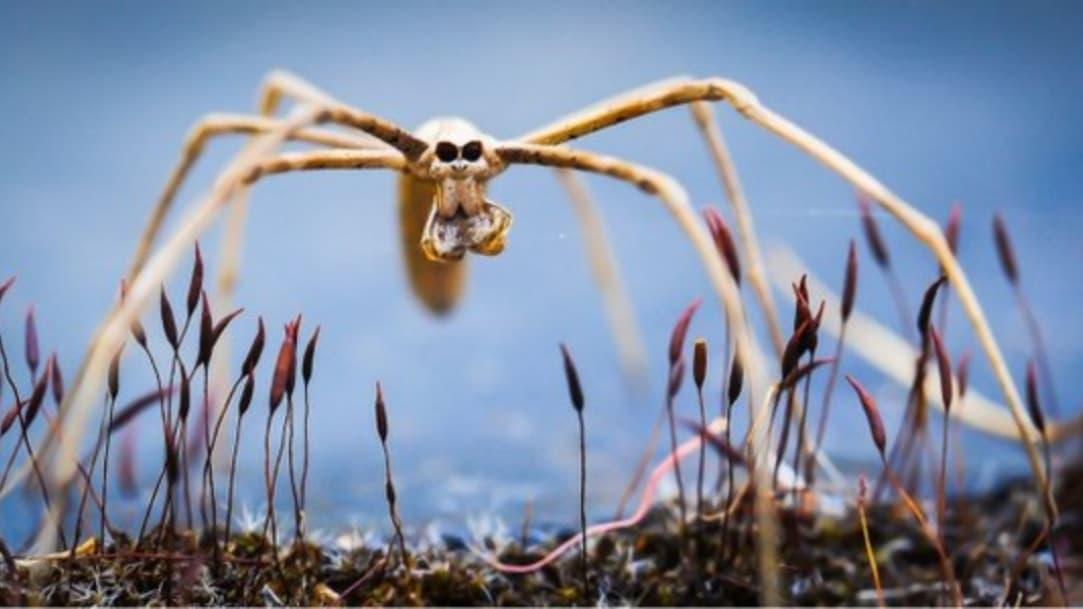 """No tienen orejas, pero las arañas """"cara de ogro"""" pueden oír"""