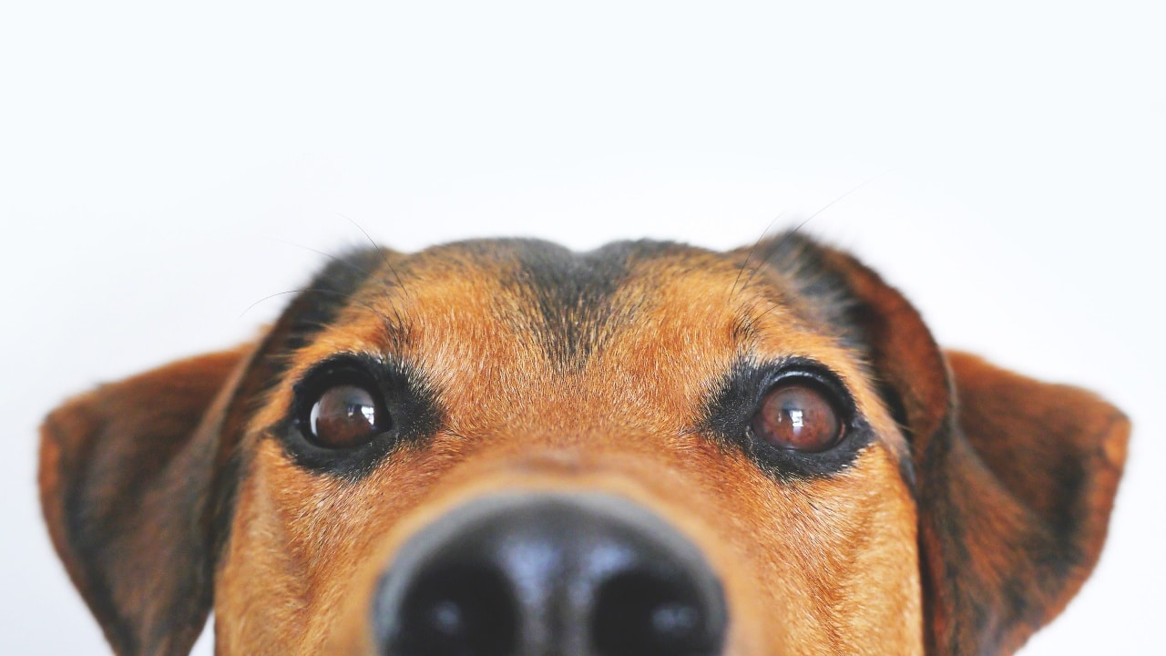 Estas son las 10 razas de perro ideales para tener en un departamento