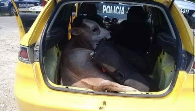 Foto: Policías encuentran a vaca robada en Tabasco