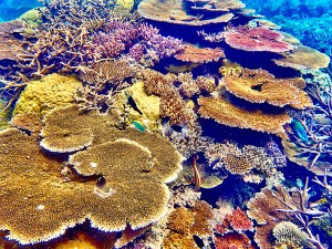Corals of various colors showing bleaching on their tips