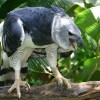 San Martín: Por primera vez encuentran un águila harpía en la cordillera Escalera