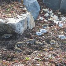 Digue des Doreaux - Tournepierres à collier et bécasseaux sanderling