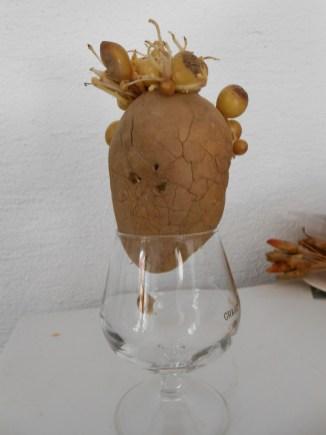 Reine de la pomme de terre