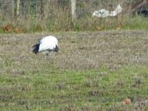 Festin d'ibis