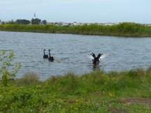 Famille de cygnes noirs à l'île de Ré