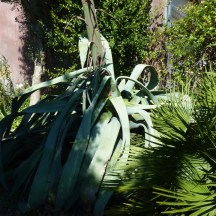 Feuille d'agave