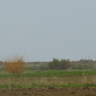 Osier dans les champs