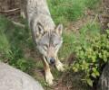Mises en place de zones d'exclusions des loups