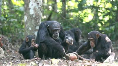 chimpanzes Bossou