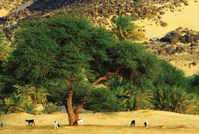 Sahel_arbres_betail