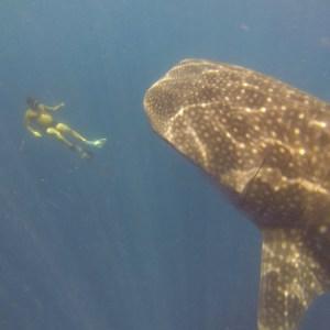 Melvin et le requin baleine