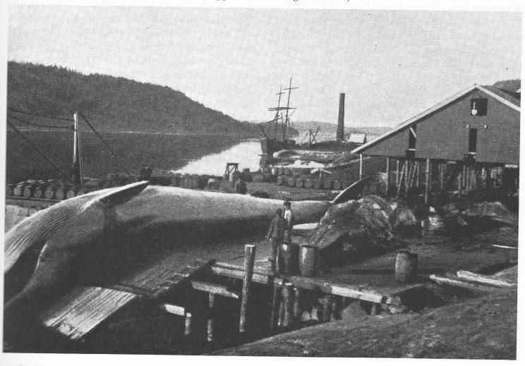 Tenvik Slip og Trankokeri med hval på slippen. (Tønsbergs Industri)