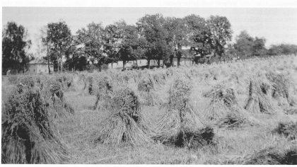 Kornband i rauk på jordet nedenfor Stabells (Berges) eiendom. (Foto utlånt av forfatteren. )