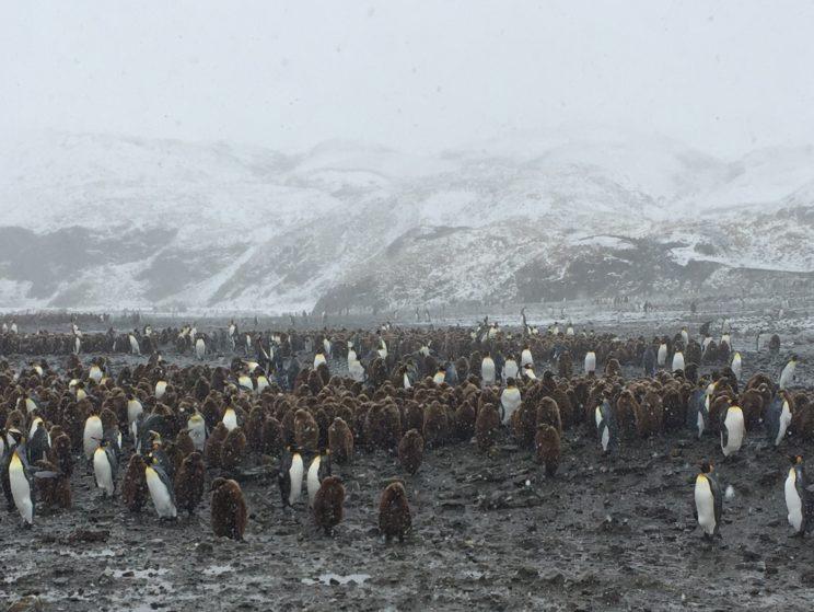 Pingviner Foto: Arthur M. Hansson
