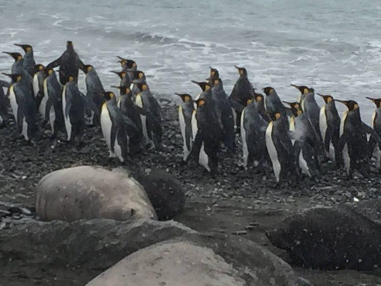 Pingviner i flokk Foto: Arthur M. Hansson