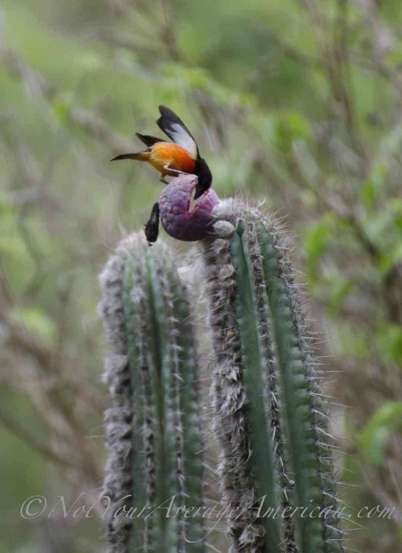 Crimson-breasted Finch, Chirije Forest, Coastal Ecuador