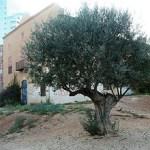 L'olivera solitària d'Antoni Santiburcio