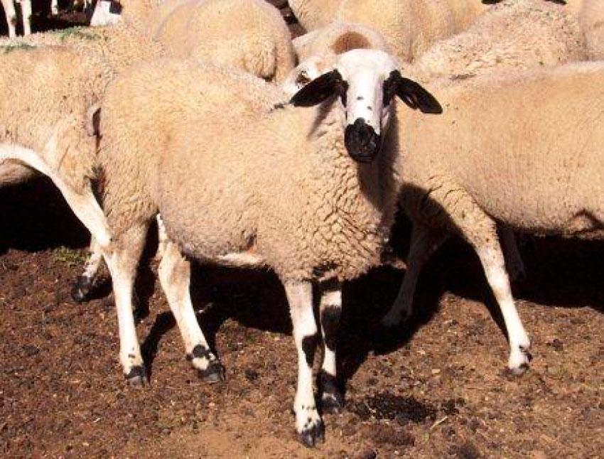 ¿Conoces a la oveja xisqueta?