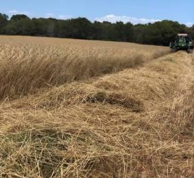 Campanya collita cereal 2018 a Formentera IV