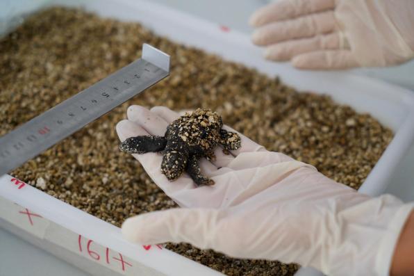 Imagen de una de las tortugas nacidas en Ibiza.