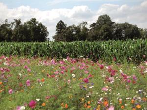 Jachères fleuries Nova-Flore