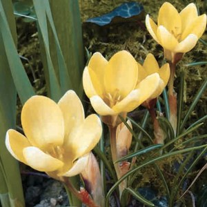 CROCUS ANCYRENSIS GOLDEN BUNCH