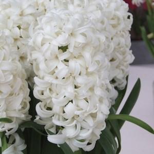JACINTHE ORIENTALIS WHITE PEARL