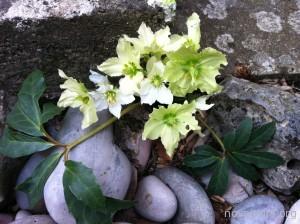 1.1.  NC Flor de sepulcro