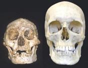 Cráneo Floresiensis