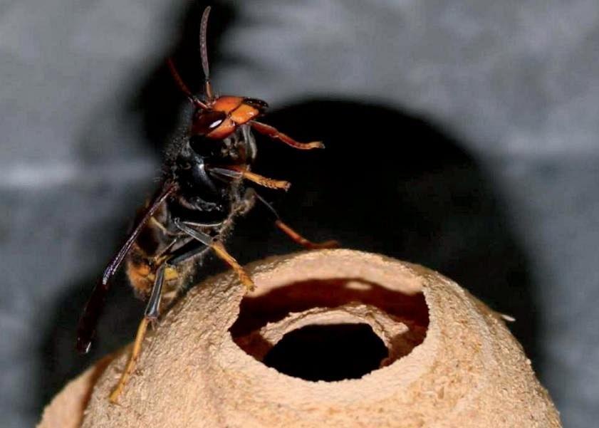 Vespa velutina in Toscana killer delle api  Nove da Firenze